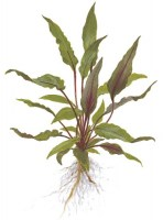 Cryptocoryne_beckettiiPetchii