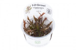 Cryptocoryne_undulatus_Red3